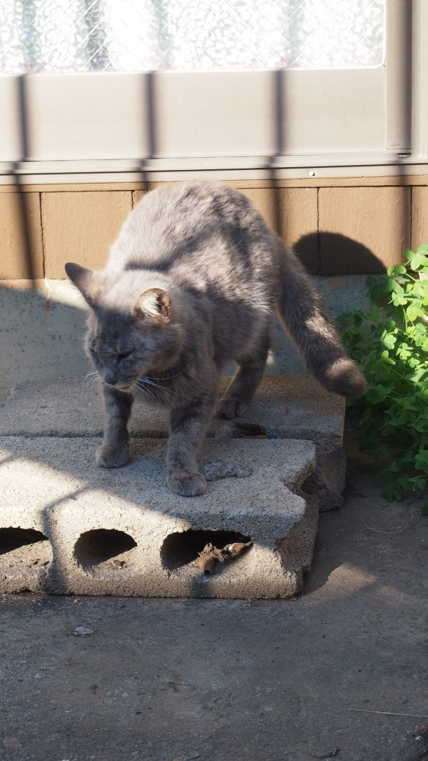 Grey cat in front of a house at Kawagoe, Saitama, Japan
